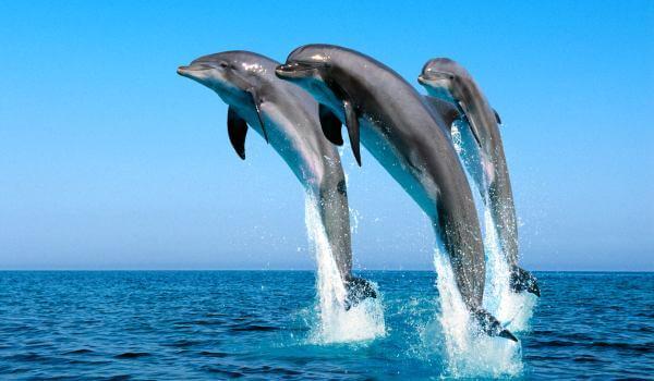 Фото: Черноморский дельфин афалина