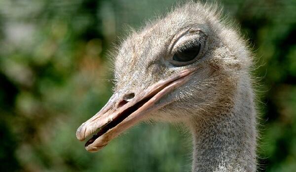 Чем питается Африканский страус