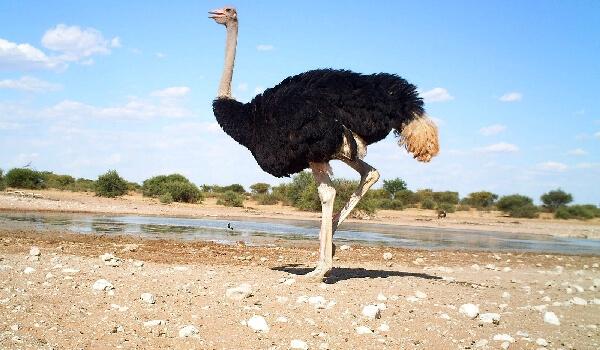 Популяция Африканского страуса