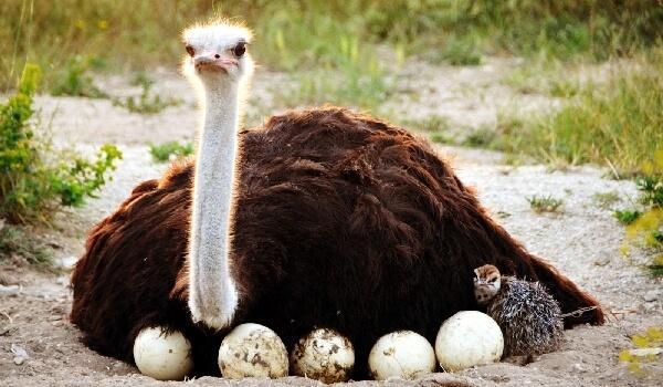 Размножение Африканского страуса