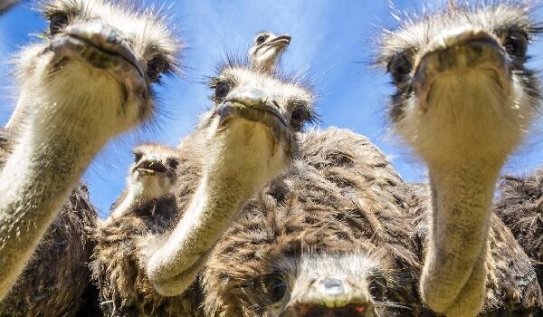Африканский страус внешний вид