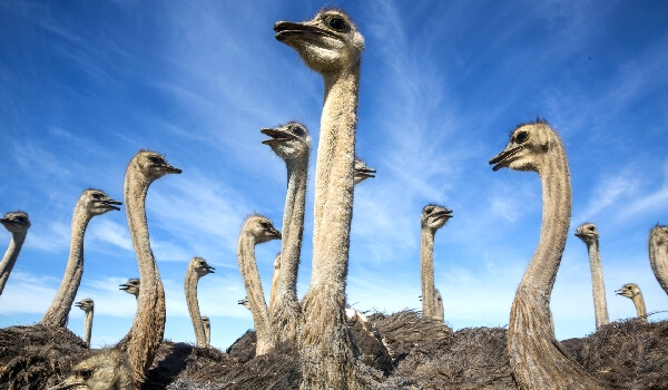 Особенности характера Африканского страуса