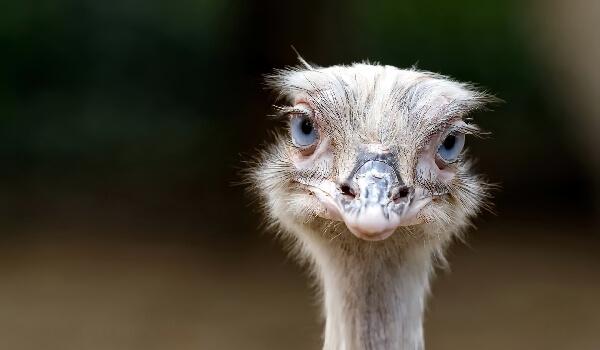 Африканский страус описание