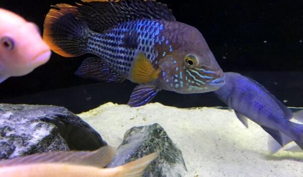Акара рыба