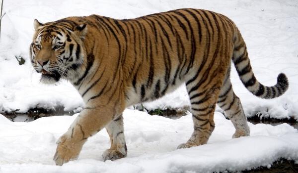 Фото: Амурский тигр зимой