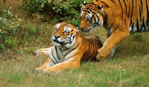 Фото: Амурский тигр в природе