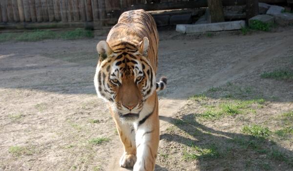 Фото: Животное амурский тигр