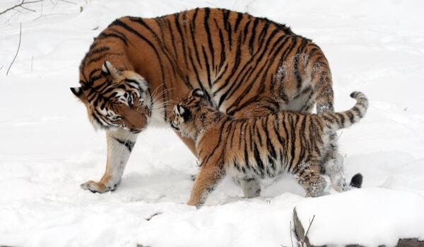 Фото: Детеныш амурского тигра