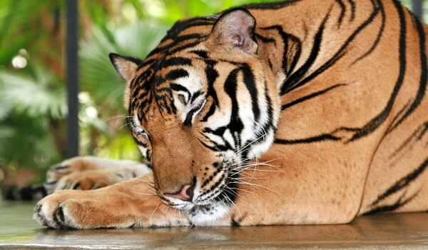 Фото: Амурский тигр животное
