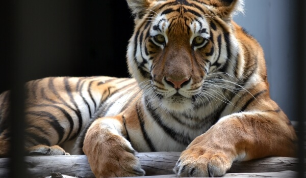 Фото: Амурский тигр из Красной книги