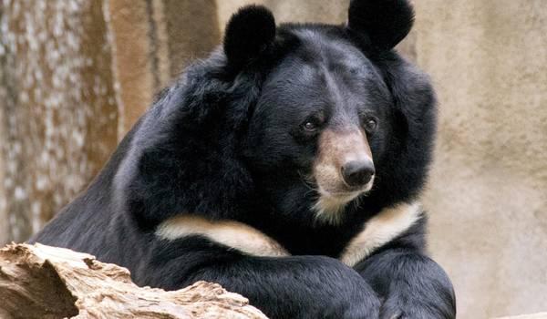 Фото: Белогрудый медведь Красная книга