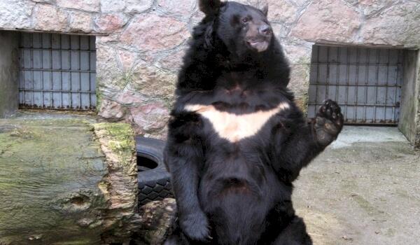 Белогрудый медведь красная книга России