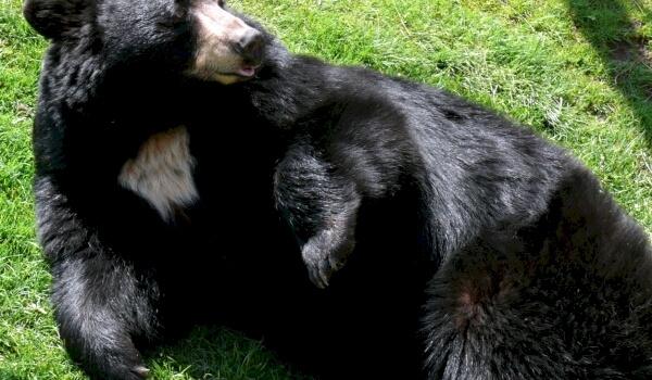 Популяция белогрудого медведя