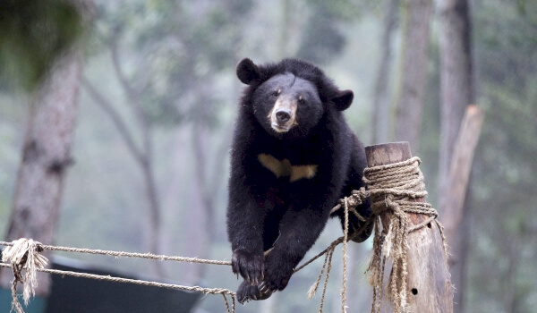 Белогрудый, или гималайский медведь