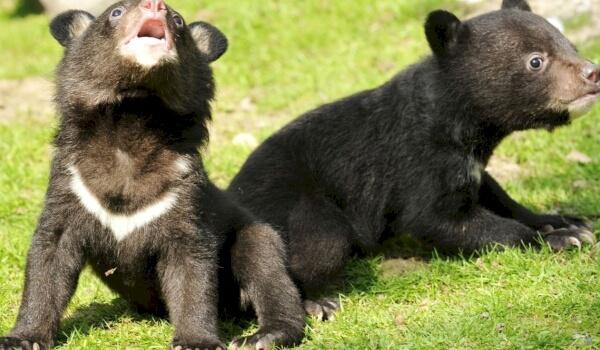 Размножение белогрудого медведя
