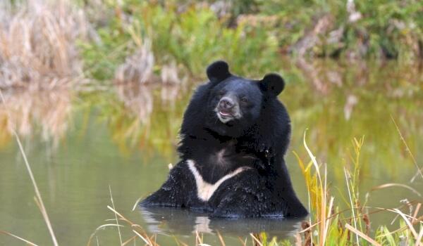 Белогрудый медведь фото