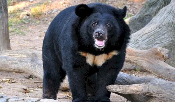 Враги белогрудого медведя