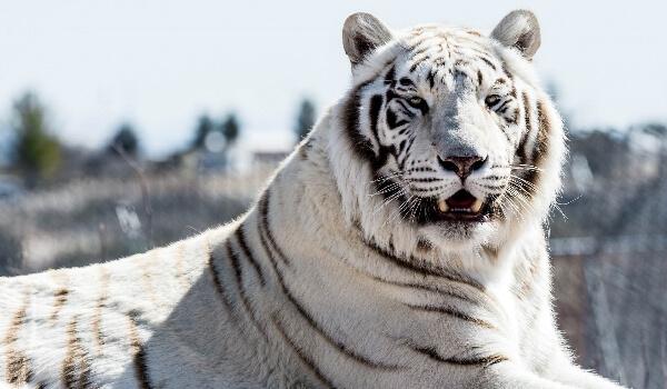 Фото: Белый тигр из Красной книги