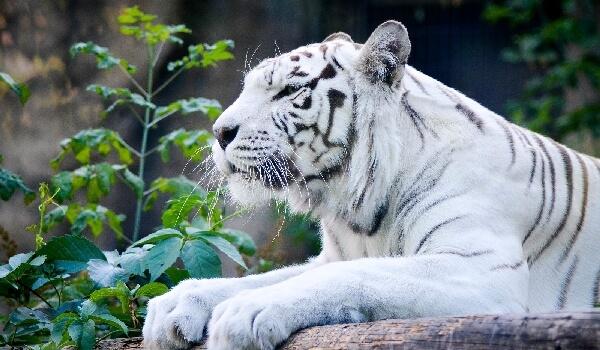 Фото: Белый тигр