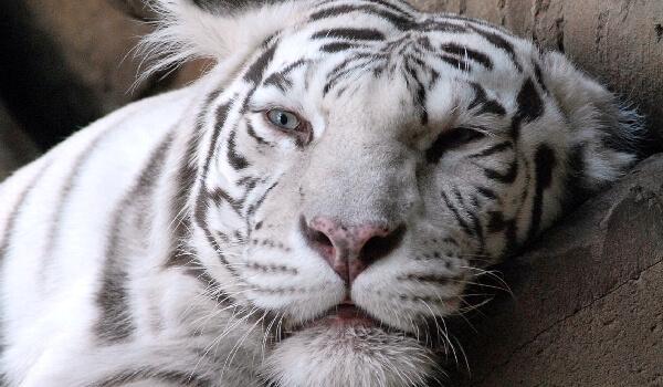 Фото: Редкое животное белый тигр