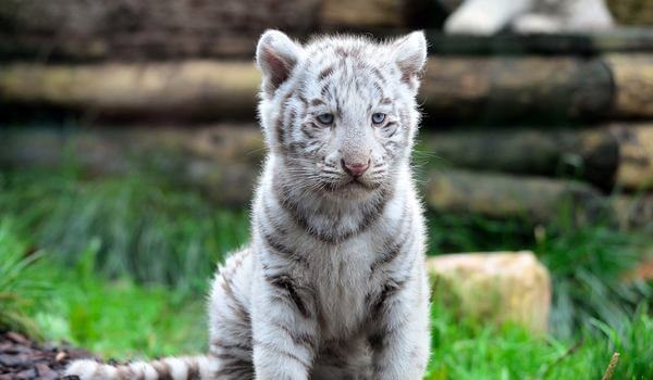 Фото: Детеныш белого тигра