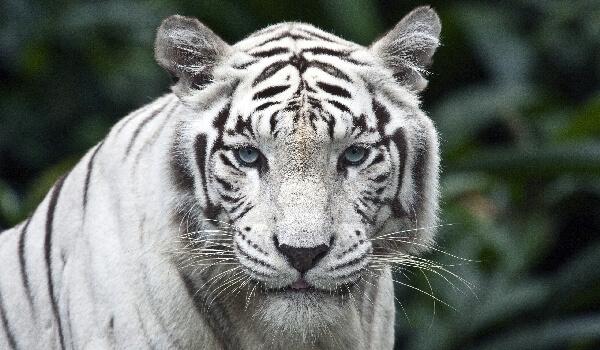 Фото: Животное белый тигр