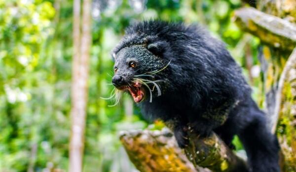 Фото: Медвежий кот бинтуронг