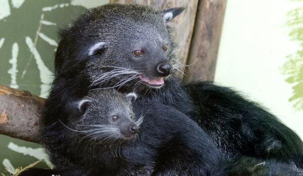 Фото: Животное бинтуронг