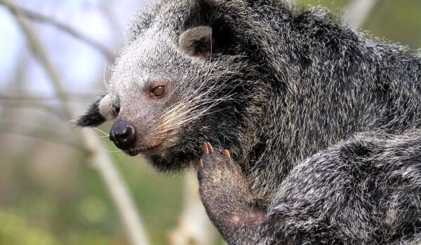 Фото: Бинтуронг - кошачий медведь