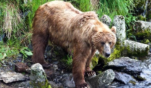 Бурый медведь описание