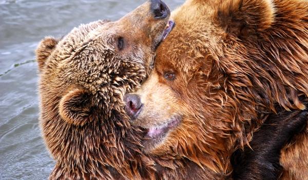 Популяция и бурого медведя