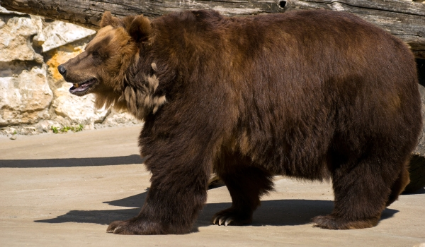Охрана бурого медведя