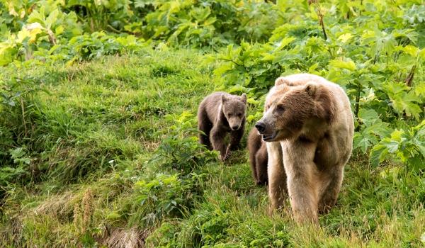 Размножение бурого медведя