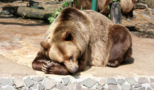 Характер бурого медведя