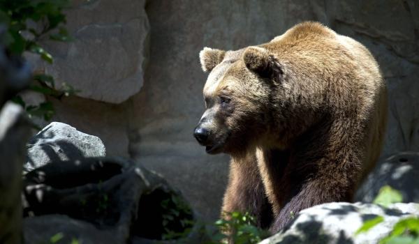 Враги бурого медведя