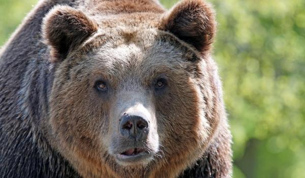 Бурый медведь особенности