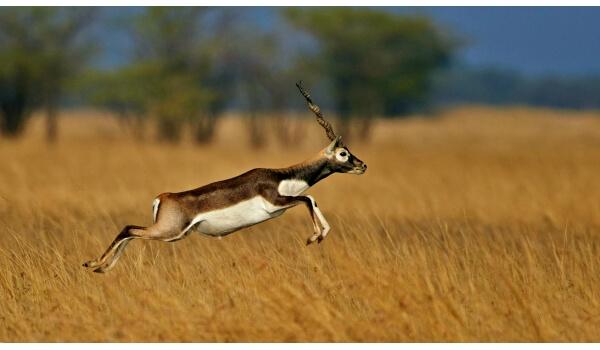 Фото: Сибирская антилопа дзерен
