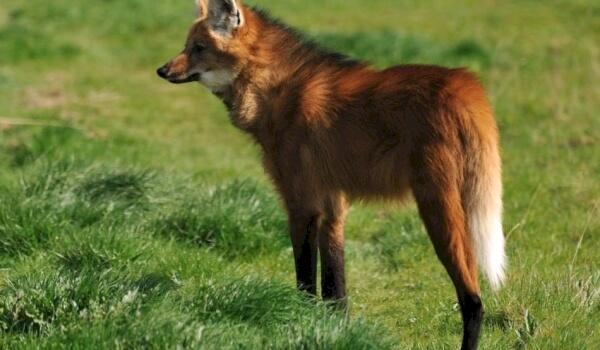 Картинки гривистый волк
