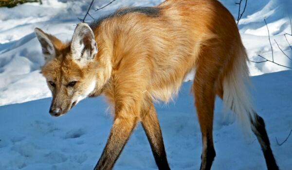 Чем питается гривистый волк