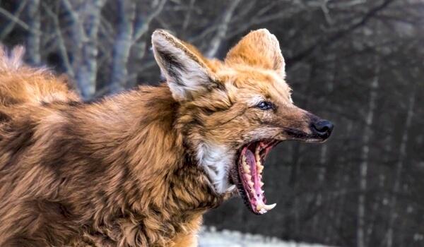 Враги гривистого волка