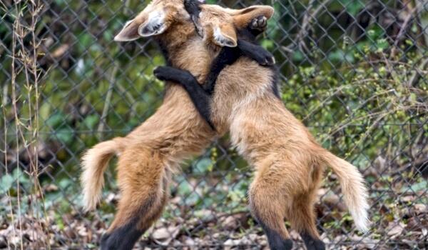 Размножение гривистого волка
