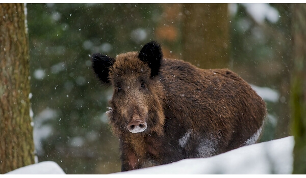 Фото: Кабан зимой