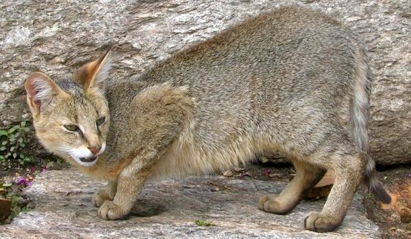 Фото: Камышовый кот в дикой природе