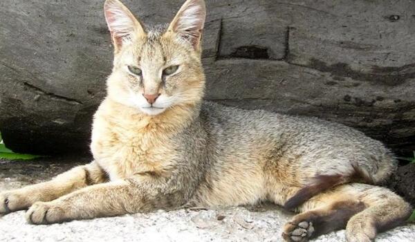 Фото: Как выглядит камышовый кот