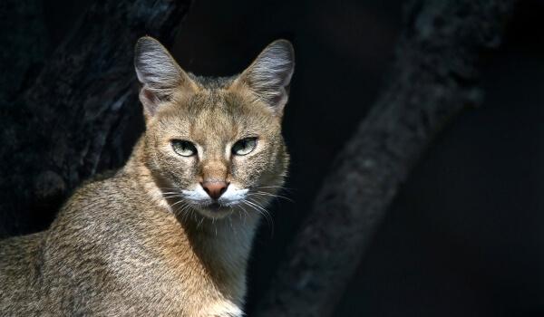 Фото: Дикий камышовый кот