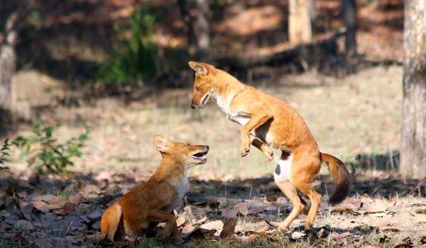 Фото: Красный волк в России