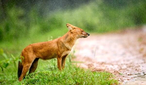 Фото: Красный волк животное