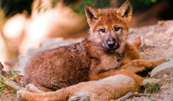 Фото: Детеныш красного волка