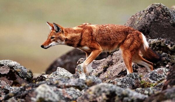 Фото: Красный волк