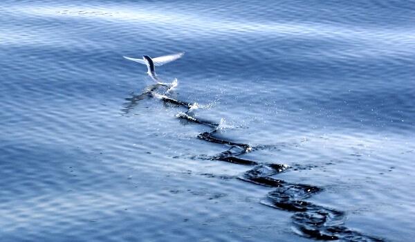 Где обитает летучая рыба